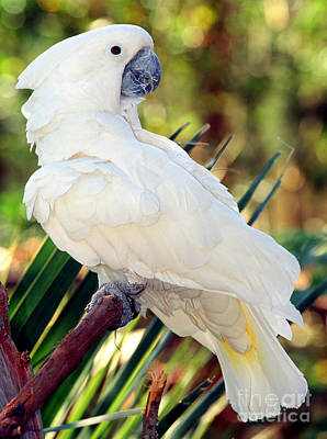Sulfur-crested Cockatoo Poster by Millard H. Sharp