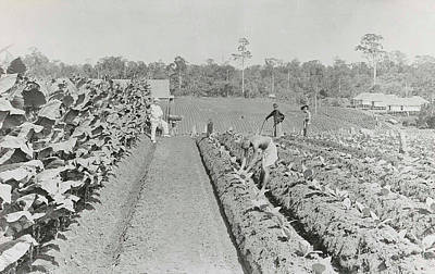 Sumatra Indonesia, Men Engaged In Tobacco Field In Various Poster