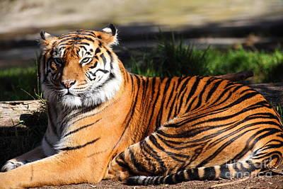 Sumatran Tiger 5d27142 Poster by Wingsdomain Art and Photography