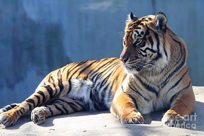 Sumatran Tiger 7d27276 Poster by Wingsdomain Art and Photography