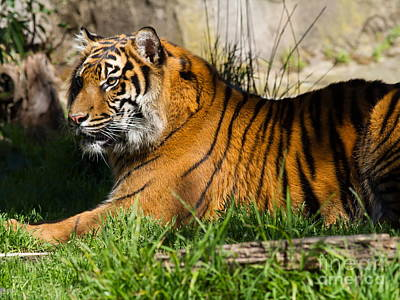 Sumatran Tiger 7d9084 Poster by Wingsdomain Art and Photography