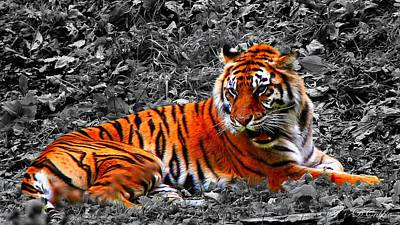 Sumatran Tiger Poster by Davandra Cribbie
