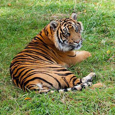 Sumatran Tiger Lying On Grass Poster