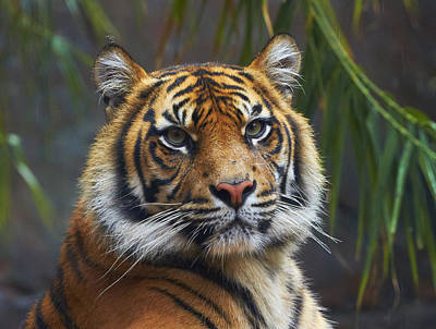 Sumatran Tiger Poster by Martin Willis