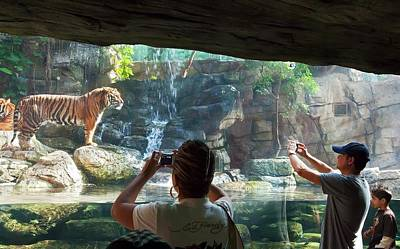 Sumatran Tigers In A Zoo Poster by Jim West