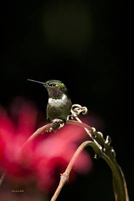 Summer Hummingbird Perched On Vine Poster