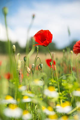 Summer Meadow With Red Poppy Poster by Matthias Hauser