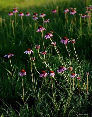 Summer Of Echinacea Poster