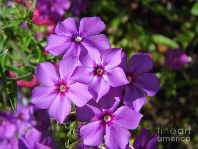 Poster featuring the photograph Summer Purple Phlox by D Hackett
