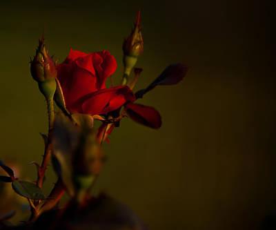 Summer Rose Poster by Mark Alder