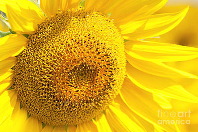 Summer Sunflowers Poster by Boon Mee