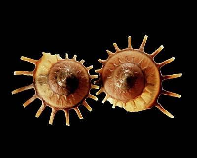 Sun Carrier Shell Sea Snail Shells Poster by Gilles Mermet