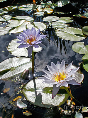 Sun-drenched Lily Pond         Poster