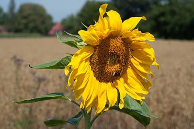 Sun Flower Fields Poster by Miguel Winterpacht