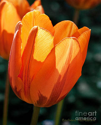Poster featuring the photograph Sun Kissed Tulip by Barbara McMahon