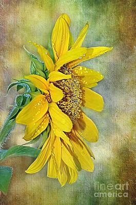 Sun Shower On Sunflower Poster