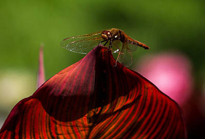 Sunbathing Dragonfly Poster