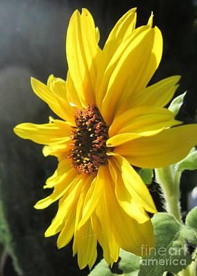 Sunflower 1 Poster by John Clark