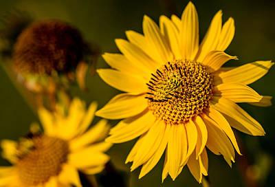 Sunflower At Sunset Poster by Eric Bott