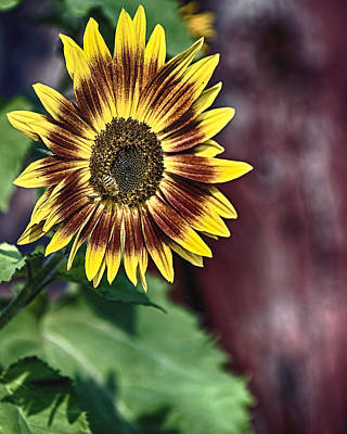 Sunflower At The Barn Poster