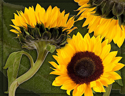 Poster featuring the photograph Sunflower  by Bob Coates