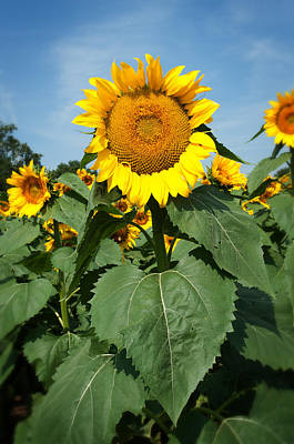 Poster featuring the photograph Sunflower by Bud Simpson