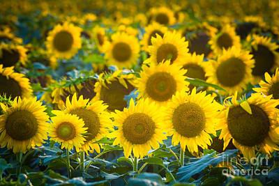 Sunflower Cornucopia Poster by Inge Johnsson