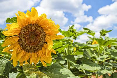 Sunflower Poster by Eyal Bartov