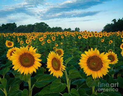 Sunflower Field At Sunrise Poster by Jack Nevitt