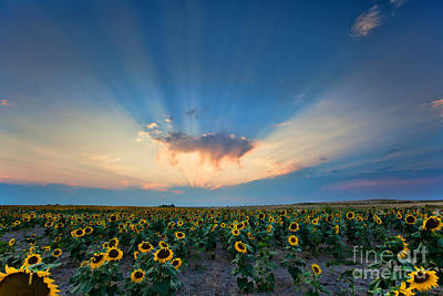 Sunflower Field At Sunset Poster