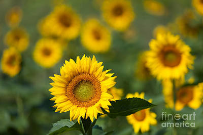 Sunflower Field In Bloom I Poster by Clarence Holmes