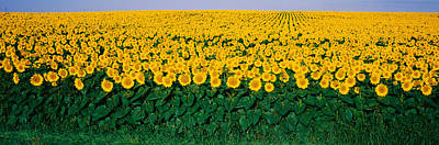Sunflower Field, Maryland, Usa Poster