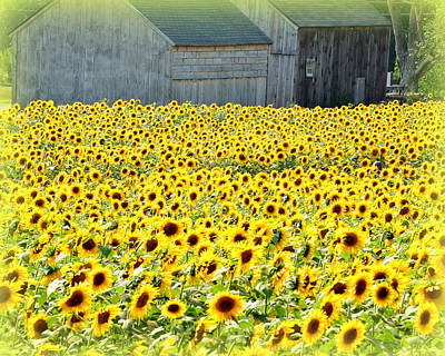 Sunflower Field Of Dreams Poster by Kathy Kenney