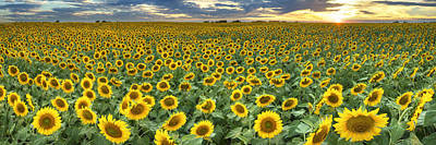 Sunflower Field Panorama - Texas Wildflower Images Poster by Rob Greebon
