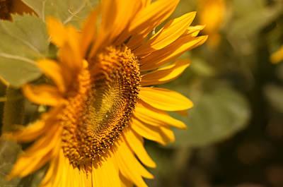 Sun Flower Garden  Poster by Miguel Winterpacht