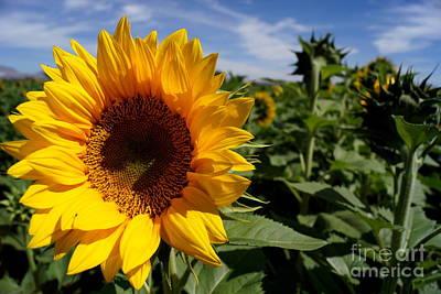 Sunflower Glow Poster by Kerri Mortenson