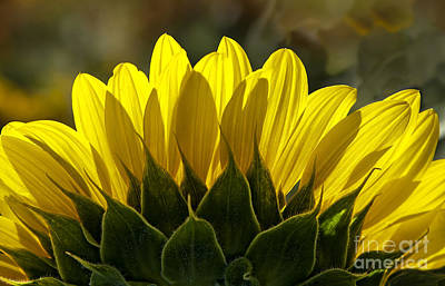 Sunflower Glowing Abstract By Nature Poster