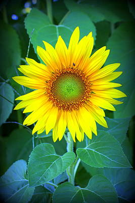 Sunflower In Green Poster