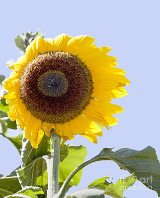Sunflower In The Blue Sky Poster by David Millenheft