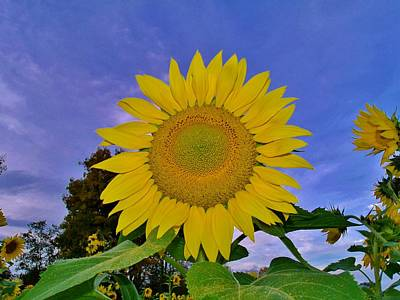 Sunflower In The Sky Poster