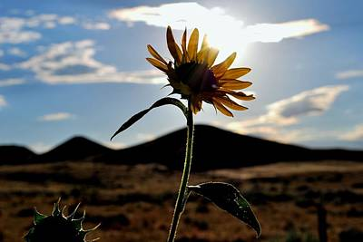 Poster featuring the photograph Sunflower In The Sun by Matt Harang