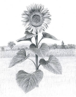 Sunflower In Umbria Poster by Diane Cardaci