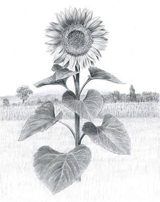 Sunflower In Umbria Poster