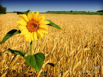 Sunflower In Wheat Poster by Boon Mee