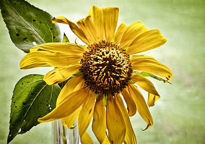 Sunflower In Window Poster