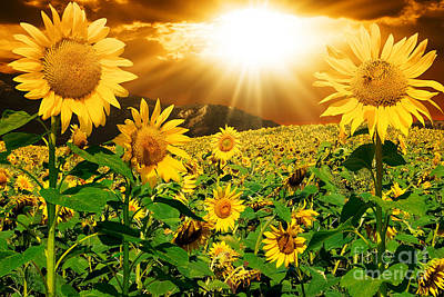 Poster featuring the photograph Sunflower Light Magic by Boon Mee