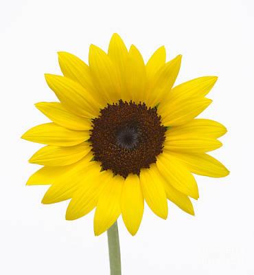 Sunflower Poster by Martin Shields