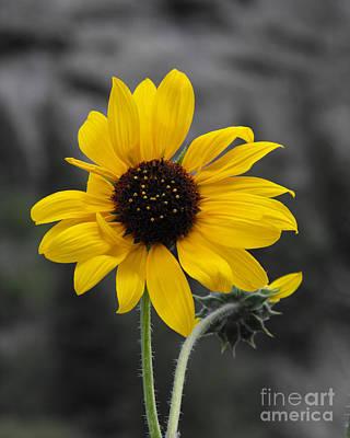Sunflower On Gray Poster by Rebecca Margraf