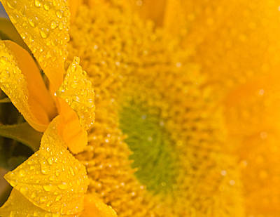 Sunflower Raindrops Poster by Joan Herwig