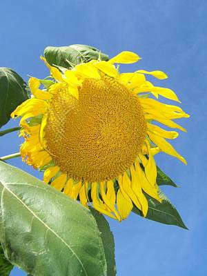 Sunflower Sky Poster by Noreen HaCohen